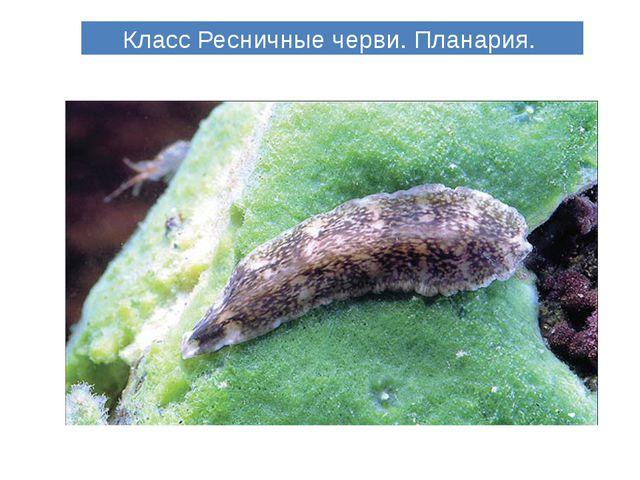 Класс Ресничные черви. Планария.