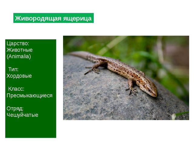 Живородящая ящерица Царство: Животные (Animalia) Тип: Хордовые Класс: Пресмык...