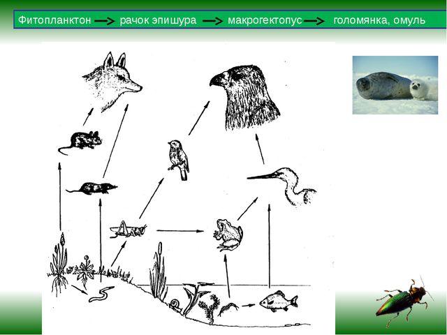Фитопланктон рачок эпишура макрогектопус голомянка, омуль