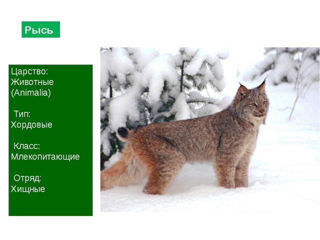 Рысь Царство: Животные (Animalia) Тип: Хордовые Класс: Млекопитающие Отряд: Х...