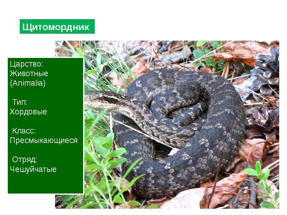 Щитомордник Царство: Животные (Animalia) Тип: Хордовые Класс: Пресмыкающиеся...