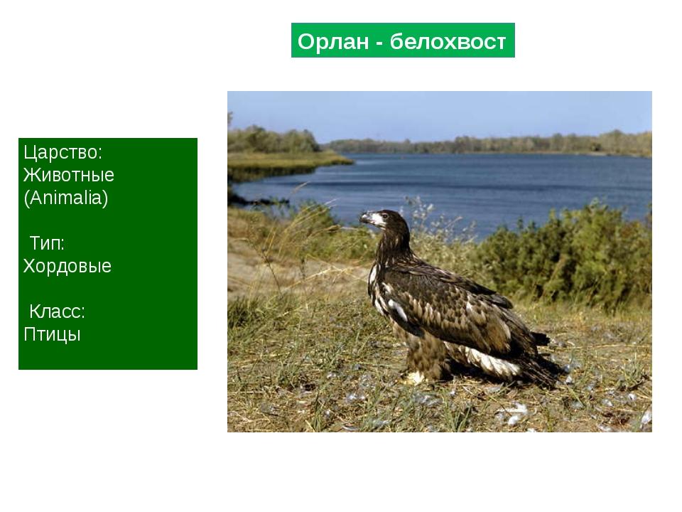 Орлан - белохвост Царство: Животные (Animalia) Тип: Хордовые Класс: Птицы