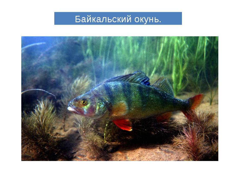 Байкальский окунь.