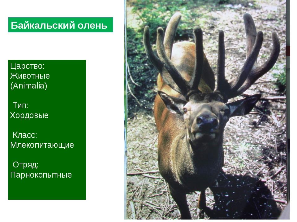 Царство: Животные (Animalia) Тип: Хордовые Класс: Млекопитающие Отряд: Парнок...