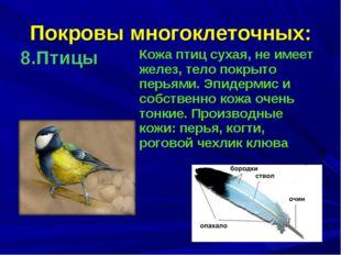 Покровы многоклеточных: 8.Птицы Кожа птиц сухая, не имеет желез, тело покрыт