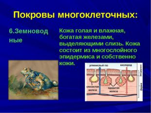 Покровы многоклеточных: 6.Земновод ные Кожа голая и влажная, богатая железам