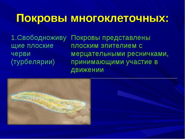 Покровы многоклеточных: 1.Свободноживущие плоские черви (турбелярии) Покровы...