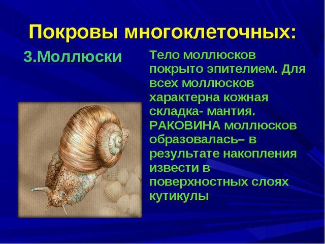 Покровы многоклеточных: 3.Моллюски Тело моллюсков покрыто эпителием. Для все...