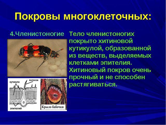 Покровы многоклеточных: 4.ЧленистоногиеТело членистоногих покрыто хитиновой...