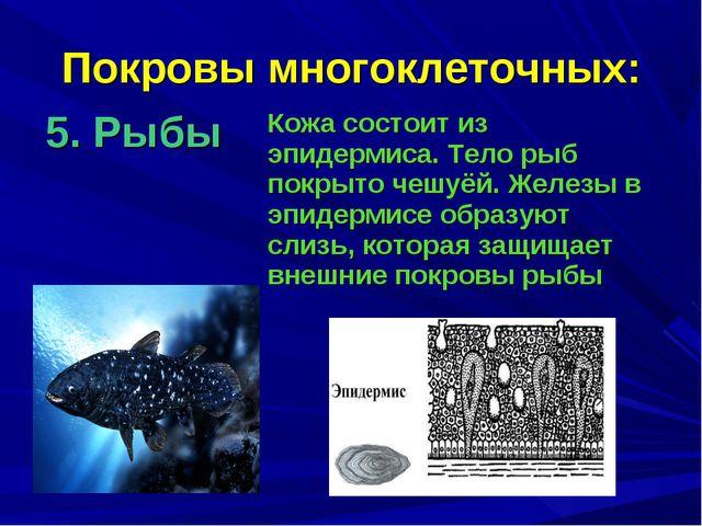 Покровы многоклеточных: 5. Рыбы Кожа состоит из эпидермиса. Тело рыб покрыто...