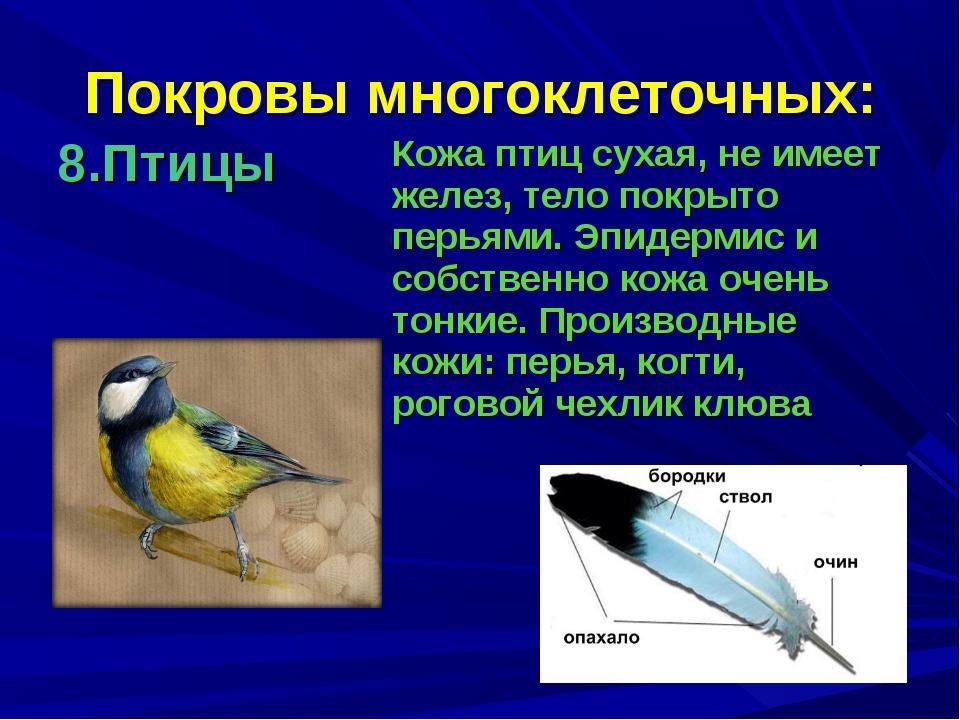 Покровы многоклеточных: 8.Птицы Кожа птиц сухая, не имеет желез, тело покрыт...