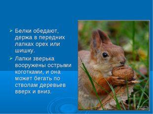 Белки обедают, держа в передних лапках орех или шишку. Лапки зверька вооружен
