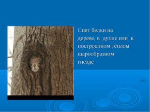 Спят белки на дереве, в дупле или в построенном тёплом шарообразном гнезде