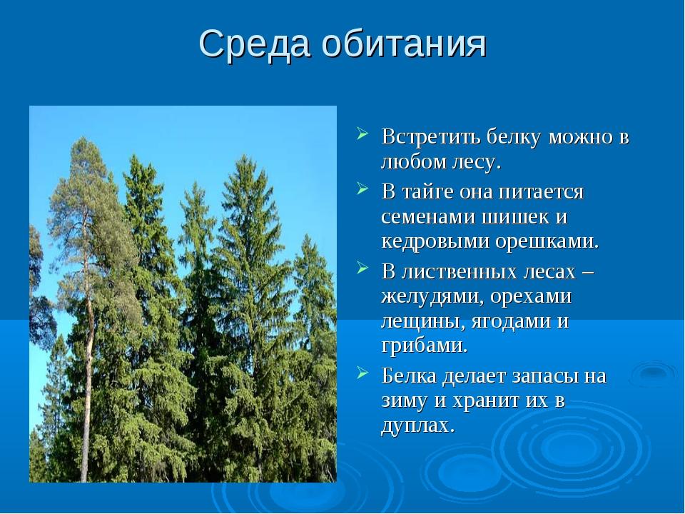 Среда обитания Встретить белку можно в любом лесу. В тайге она питается семен...