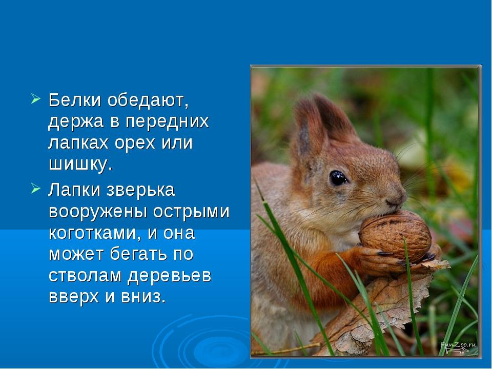Белки обедают, держа в передних лапках орех или шишку. Лапки зверька вооружен...