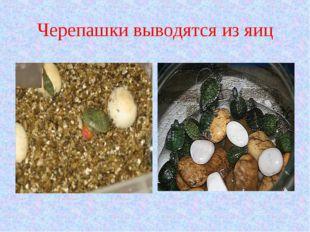 Черепашки выводятся из яиц