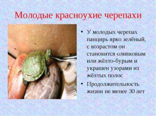 Молодые красноухие черепахи У молодых черепах панцирь ярко зелёный, с возраст