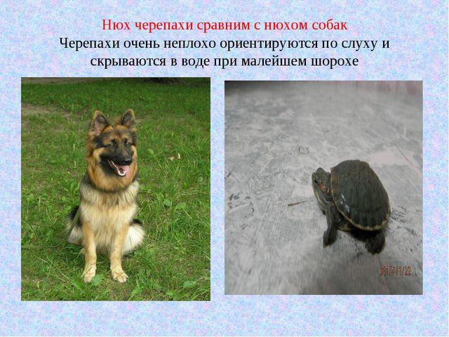 Нюх черепахи сравним с нюхом собак Черепахи очень неплохо ориентируются по сл...