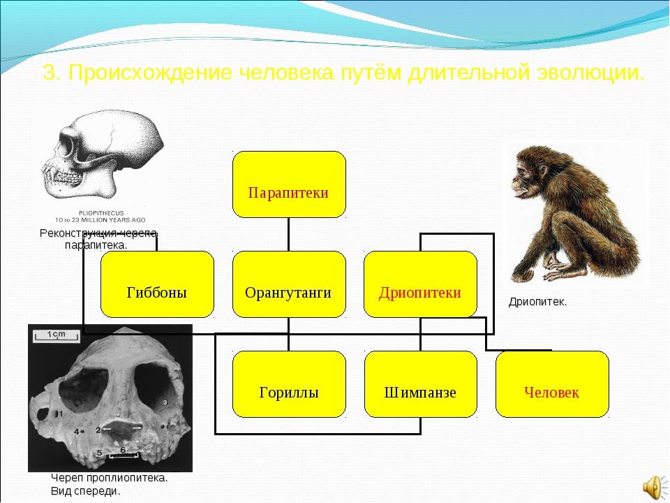 3. Происхождение человека путём длительной эволюции. Реконструкция черепа па...