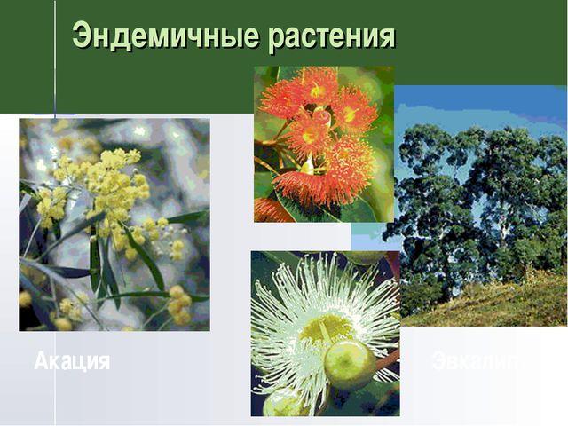 Эндемичные растения Акация Эвкалипт