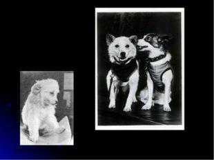 Белка и Стрелка 20 августа 1960 года Пушок (щенок Стрелки)