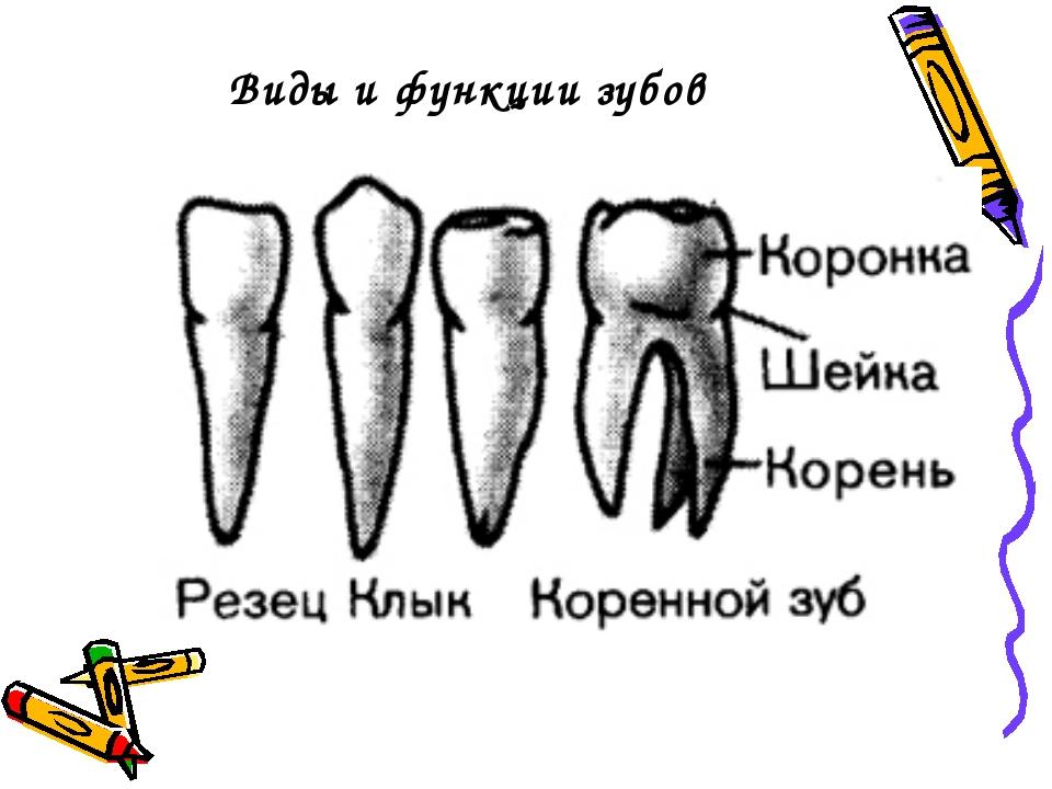 что типы зубов человека в картинках фото