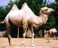 Camelus%20bactrianus4