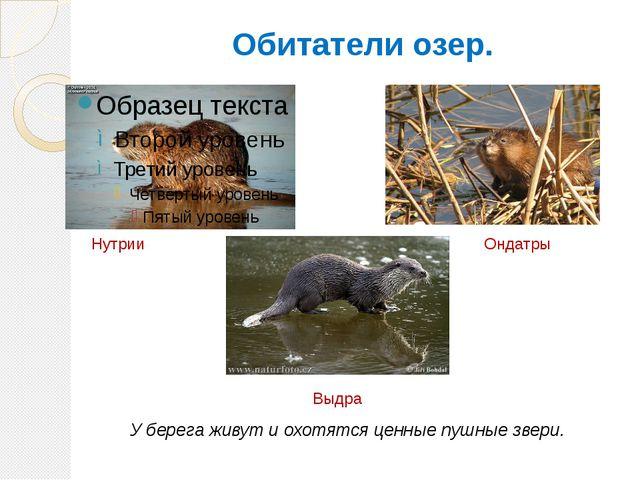 Обитатели озер. Нутрии Ондатры Выдра У берега живут и охотятся ценные пушные...