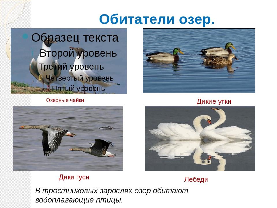 Обитатели озер. Озерные чайки В тростниковых зарослях озер обитают водоплаваю...