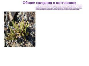 Общие сведения о щитовнике Щитовник пахучий небольшой скальный папоротник с