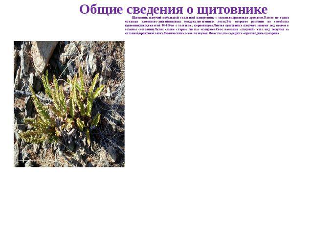 Общие сведения о щитовнике Щитовник пахучий небольшой скальный папоротник с...