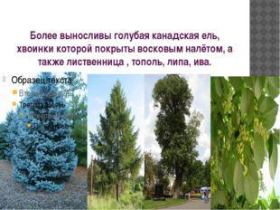 Более выносливы голубая канадская ель, хвоинки которой покрыты восковым налёт