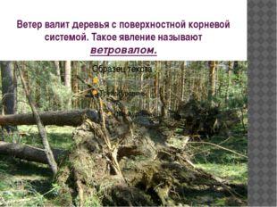 Ветер валит деревья с поверхностной корневой системой. Такое явление называют
