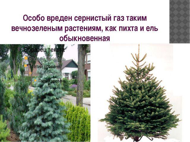 Особо вреден сернистый газ таким вечнозеленым растениям, как пихта и ель обык...