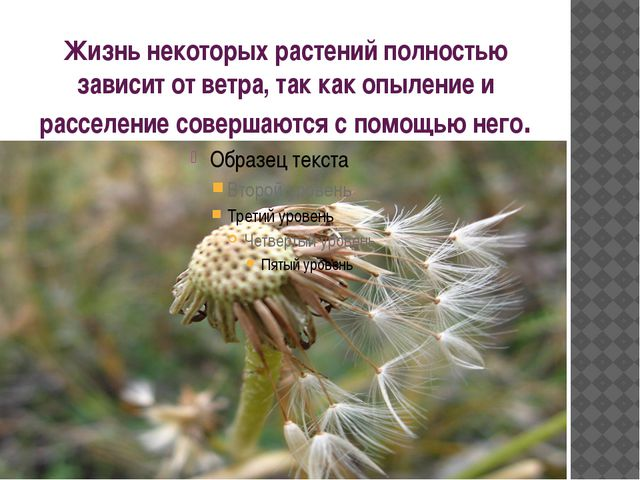 Жизнь некоторых растений полностью зависит от ветра, так как опыление и рассе...