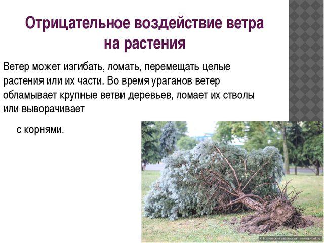 Отрицательное воздействие ветра на растения Ветер может изгибать, ломать, пер...