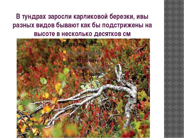 В тундрах заросли карликовой березки, ивы разных видов бывают как бы подстриж...