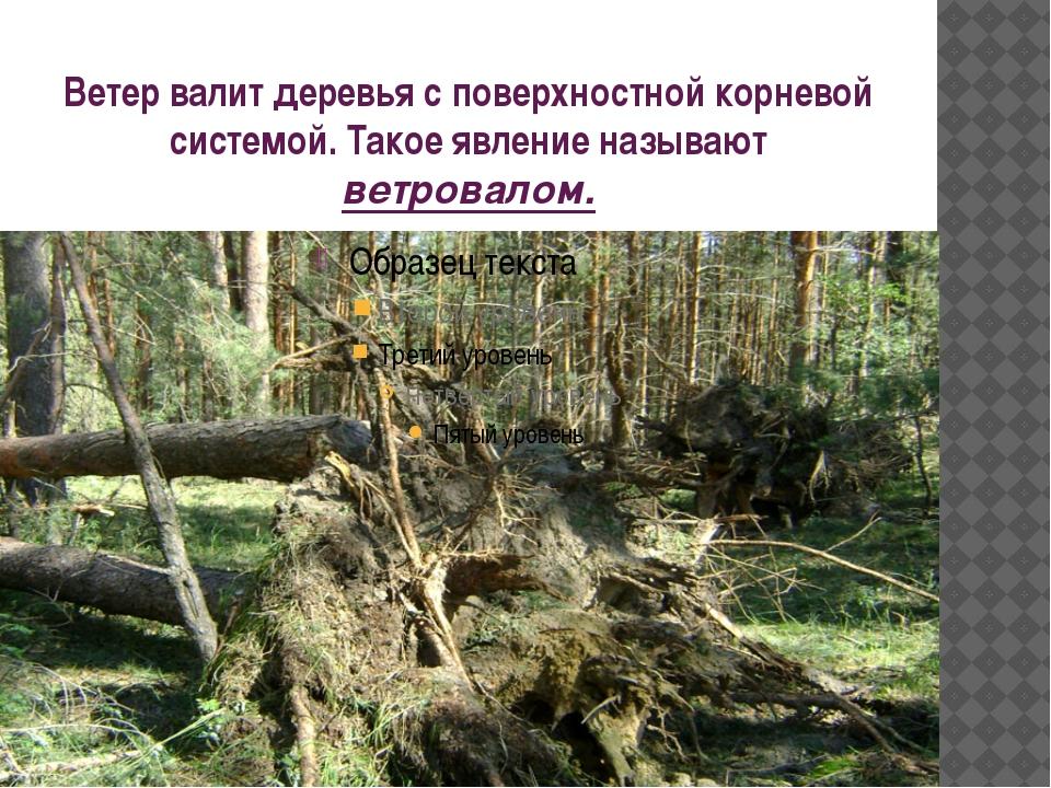Ветер валит деревья с поверхностной корневой системой. Такое явление называют...