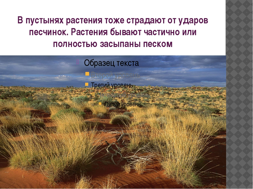 В пустынях растения тоже страдают от ударов песчинок. Растения бывают частичн...