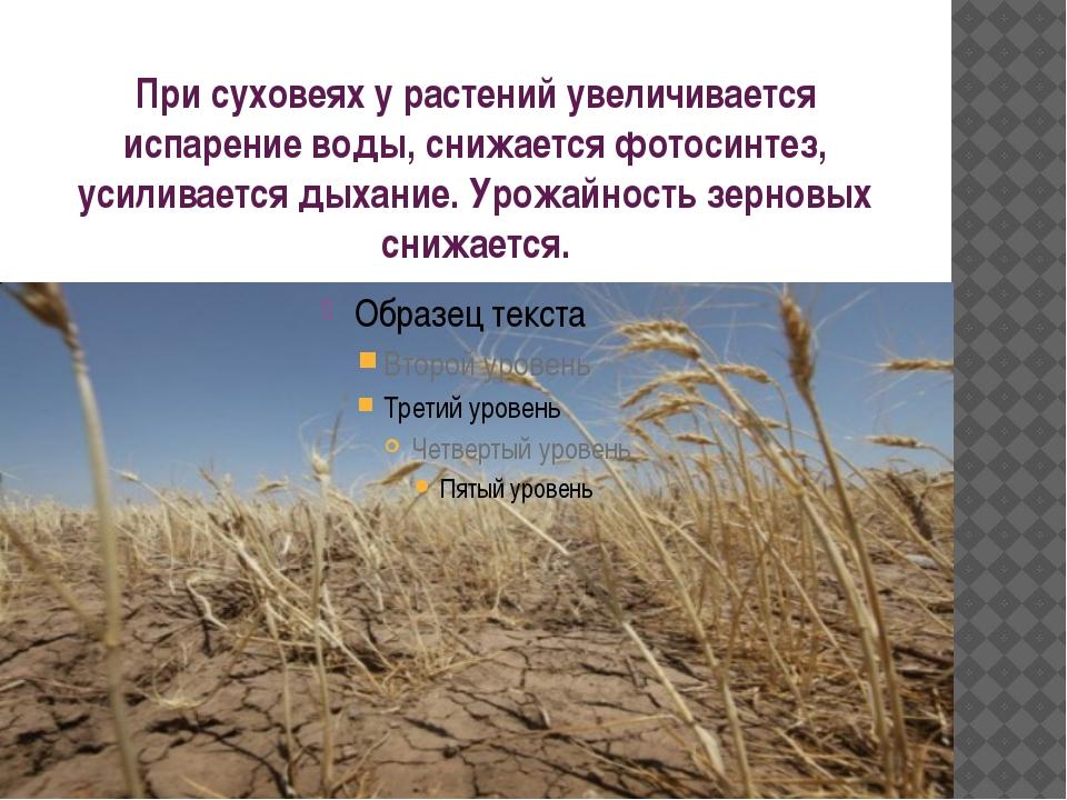 При суховеях у растений увеличивается испарение воды, снижается фотосинтез, у...