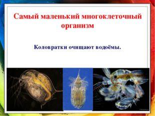 Самый маленький многоклеточный организм Коловратки очищают водоёмы.