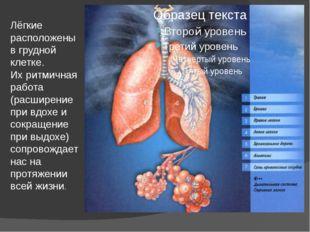 Лёгкие расположены в грудной клетке. Их ритмичная работа (расширение при вдох