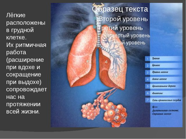 Лёгкие расположены в грудной клетке. Их ритмичная работа (расширение при вдох...