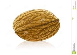 http://thumbs.dreamstime.com/z/vector-walnut-fruit-isolated-7159852.jpg