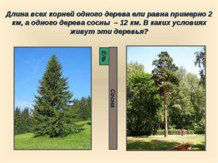 Длина всех корней одного дерева ели равна примерно 2 км, а одного дерева сосн