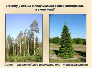 Сосна – светолюбивое растение, ель - теневыносливое Почему у сосны в лесу ниж