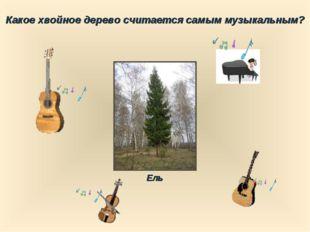 Какое хвойное дерево считается самым музыкальным? Ель