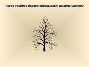 Какое хвойное дерево сбрасывает на зиму иголки?