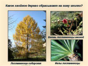 Какое хвойное дерево сбрасывает на зиму иголки? Лиственница сибирская осенью