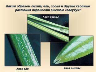 Каким образом пихта, ель, сосна и другие хвойные растения переносят зимнюю «з